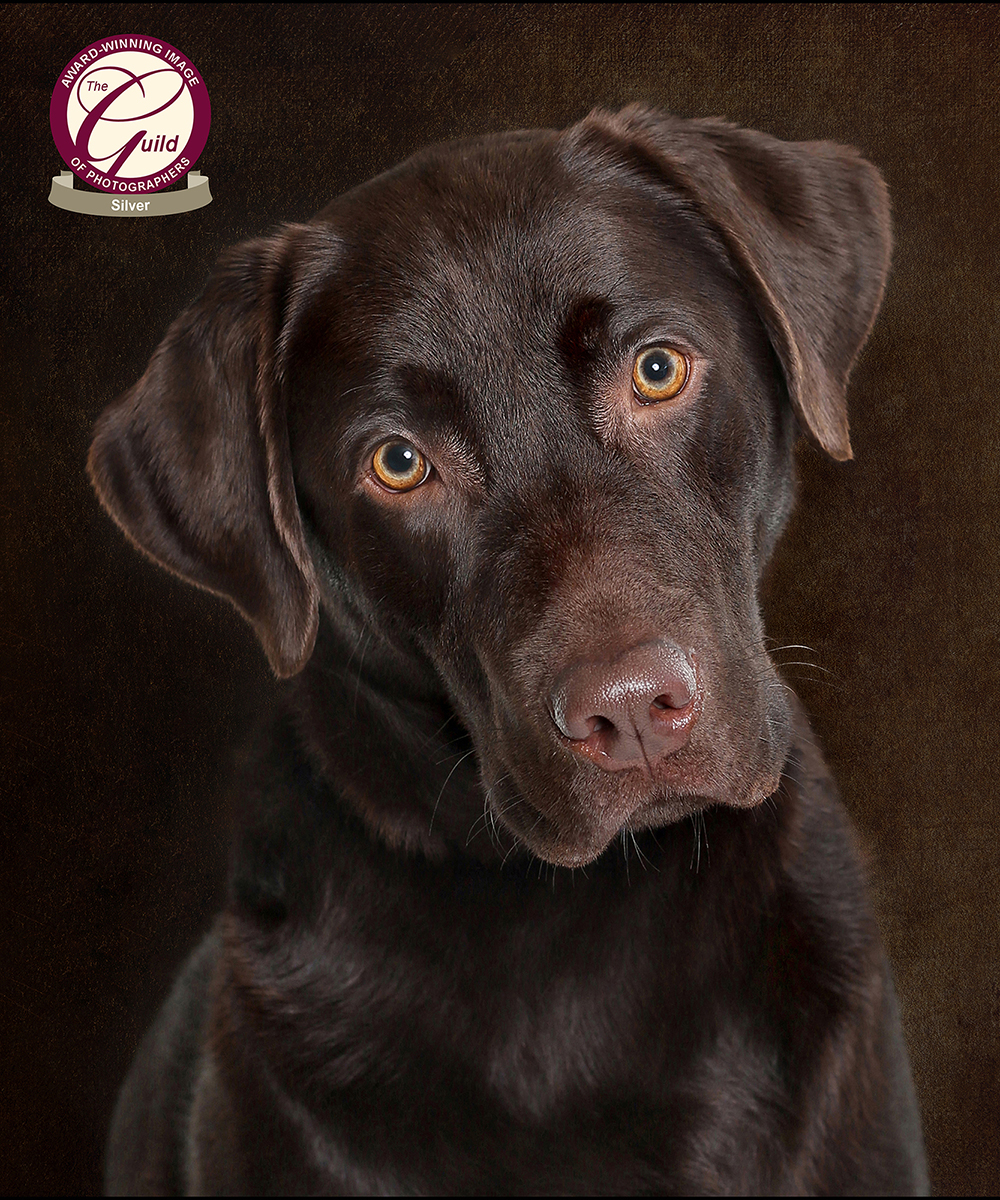 Silver award winning image of a chocolate labrador, with the Guild of Photographers. Taken by Karen Riches, Red Frog Photography