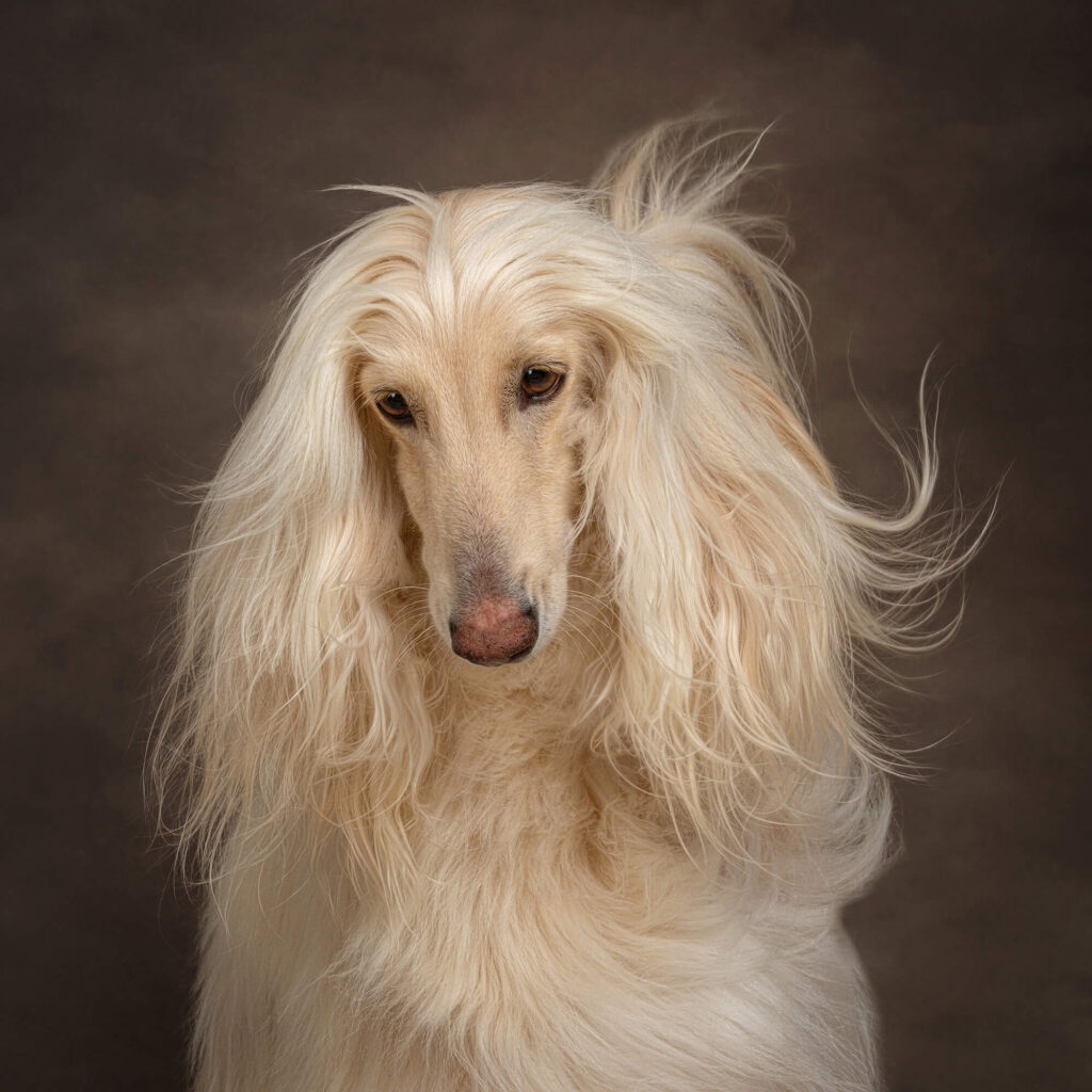 Afghan Hound Dog Photoshoot Blog