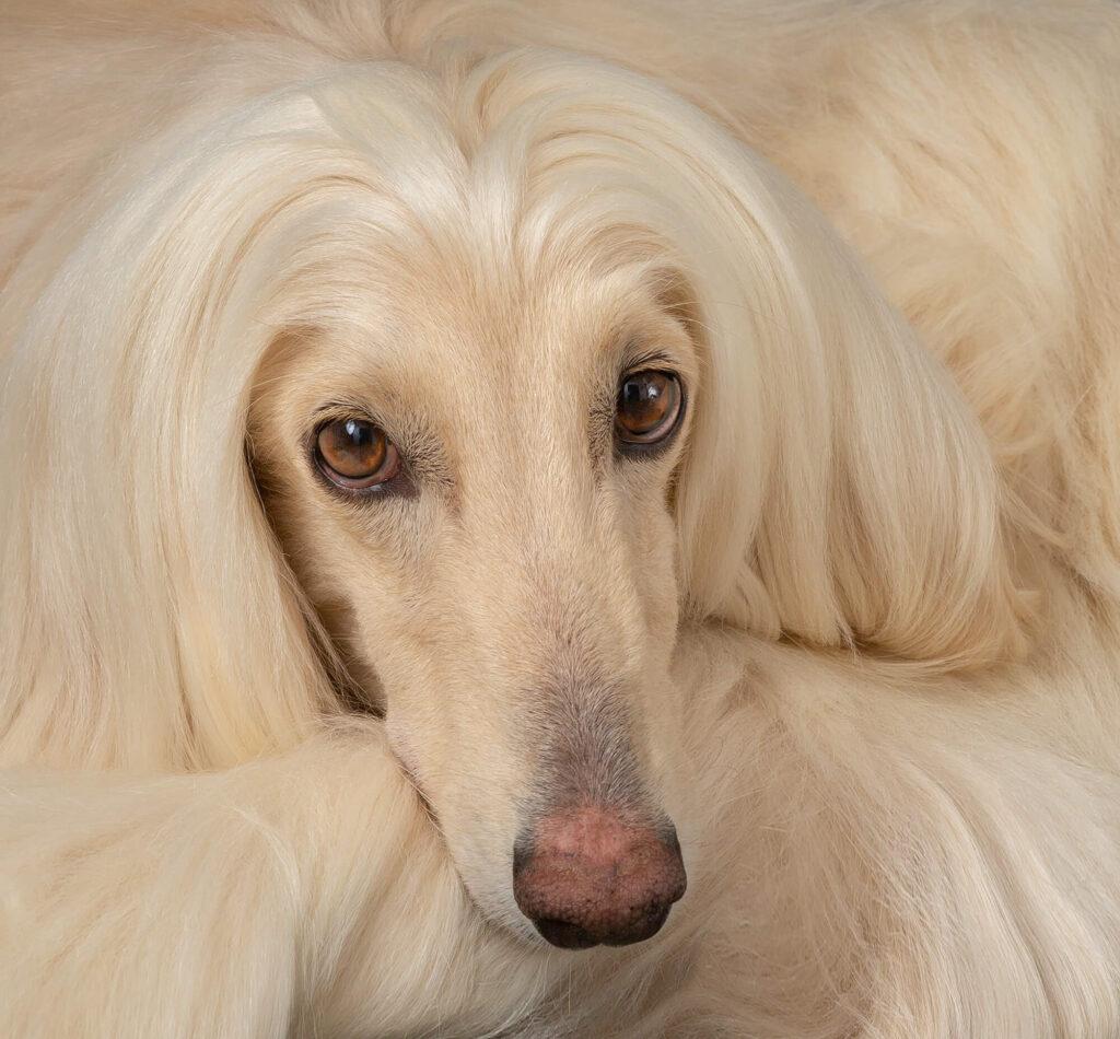 Afghan Hounds Dog Photoshoot