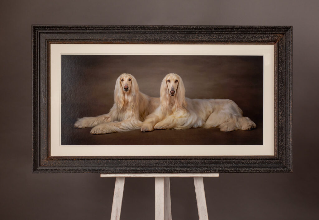 Wall Art of Afghan Hounds from a dog photoshoot